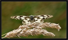 MARBLED WHITE (PHOTOGRAPHY STARTS WITH P.H.) Tags: alners gorse dorset nikon d7100 ring flash 300mm