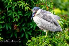 Black-Crowned Night-Heron (mayekarulhas) Tags: oceancity newjersey unitedstates us heron canon canon500mm canon1dxmark2 wildlife bird avian