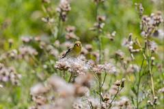 Feast (isabel.monita) Tags: feeding seeds thistle field wild summer ontario nature bird americangoldfinch female