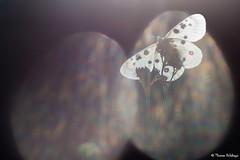 """"""" Vitrail d'Apollon """" (Thomas Delahaye) Tags: thomas delahaye macro proxi papillon butterfly apollo apollon parnassius oneshot pure canon 100mm savoie pralognan alps alpes french wildlife ngc"""