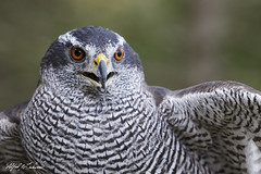 Northern Goshawk_T3W3988 (Alfred J. Lockwood Photography) Tags: alfredjlockwood nature bird northerngoshawk portrait canadianraptorconservancy crc closeup ontario autumn morning canada overcast standing