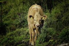 170/365: Mooooo 🐂 (Liv Annette) Tags: cow animal portrait brown farm farmland norway norge randaberg regionstavanger rogaland 365 365project nature scenery scenic landscape pretty cute colours green canon