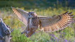 Great Horned Owl (Golden_Arrow) Tags: bird prey great horned owl