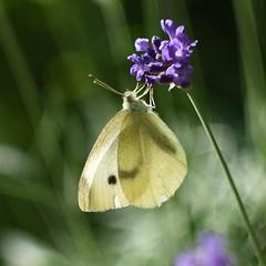 Pieris brassicae. (agnieszka.a.morawska) Tags: nature pierisbrassicae beyondbokeh bokehlicious bkhq helios helios44m summer macro dof bokeh lavender butterfly