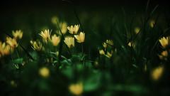 spring explodes (Darek Drapala) Tags: spring flower flowers field flora closeup panasonic poland polska panasonicg5 park plants lumix light nature natural