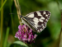 Marbled White (RobLesliePhotography) Tags: leica 100400mm g80