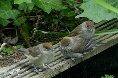Blackcap fledglings at the pond (jehazet) Tags: blackcap zwartkop bird vogel inmygarden jehazet