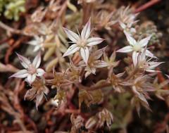Sedum pallidum (Nessy apprentie en rangement) Tags: sedum succulent crassulaceae