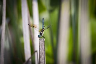 dragonfly-upright