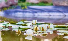 water lilies (toivo_xiv) Tags: waterlilies water lotus pond nature green summer kyiv ukraine