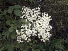 Common Elder flowers (Baractus) Tags: john oates common elder brueton park solihull west midlands uk