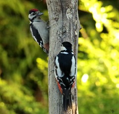 great spotted woodpecker (2) (Simon Dell Photography) Tags: sheffield simon dell tog photography s12 uk england old english countryside wildlife nature summer birds animals