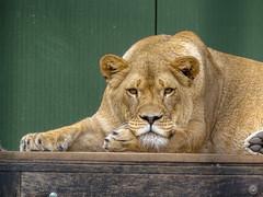 Ayla00017 (Rasenche) Tags: animal carnivore cat mammal bigcat annapaulowna stichtingleeuw lion