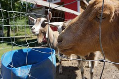 Goats getting in front of goats (the8dushphoto) Tags: