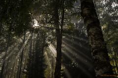 Magic light (MIKAEL82KARLSSON) Tags: natur naturbild nature ljus light träd skog woods tree sol sun sverige sweden dalarna bergslagen explore explorer expo pentax k70 1650mm f28 mikael82karlsson skuggor shadows