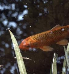 7 Koi (JoelDeluxe) Tags: koi pond southvalley newmexico joeldeluxe