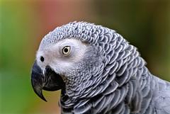 Parrot: African Grey (Ric Seet.) Tags: sony a9 100400gm birds