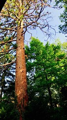 Tall tree outside our airbnb — perspective 1 (Geneva, Switzerland) (LauraGilchrist4) Tags: lookingoutthekitchenwindow nature june switzerland genevaswitzerland geneva airbnb