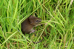 Sleepy Field Mouse (Eskling) Tags: field mouse grass mammal cavehill belfast
