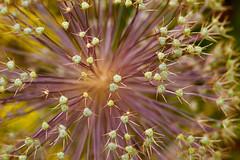 Allium Sparkler (SunnyDazzled) Tags: allium seed pods flower bloom nature macro colorful burst spikes orangecounty arboretum newyork garden floral macrolens