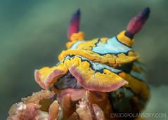 Tambja Nudibranch (NickPolanszkyPhotography) Tags: nick polanszky underwater photography digital housing cortez sea lapaz mexico bcs california nudibranch tambja macro olympus tg4 tough olympustg4 microscope mode scuba diving