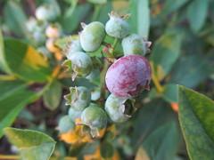 Mostly immature blueberries (Quevillon) Tags: canada québec laurentides thérèsedeblainville rosemère lesjardinshamilton garden berries blueberry fruit