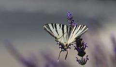 Le Flambé butinant (Callie-02) Tags: ef70200mmf28lis macro plante extérieur jardin lumière insecte été détails proximité macrographie profondeurdechamp canon bokeh couleurs violet leflambé lavande fleur papillon