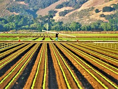 June28Image3203 (Michael T. Morales) Tags: lettuce leaflettuce rows furrows farm green montereycounty shadows salinasvalley