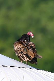 Turkey-Vulture-32w