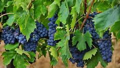 In vino veritas (gerard eder) Tags: world travel reise viajes europa europe wein vino uvas weintrauben grapes outdoor natur nature naturaleza frutas früchte fruits flora