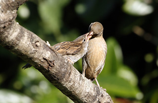 Mother and Baby Sparrow