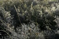 Rinder zählen im Morgennebel - Morgentau; Bergenhusen, Stapelholm (7) (Chironius) Tags: stapelholm bergenhusen schleswigholstein deutschland germany allemagne alemania germania германия niemcy nebel fog brouillard niebla morgendämmerung sonnenaufgang morgengrauen утро morgen morning dawn sunrise matin aube mattina alba ochtend dageraad zonsopgang рассвет восходсолнца amanecer morgens dämmerung gegenlicht landschaft landwirtschaft commeliniden süsgrasartige poales süsgräser poaceae gras gräser herbe graminées grass grasses erba трава травы pooideae