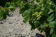 Baby Vino (valerie.toalson) Tags: santorini vineyard greece