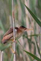 Petit blongios (9) (boisvertvert1) Tags: petitblongios leastbittern canada canon canon70d québec oiseauxduquébec birds michelboisvert 2018