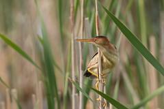 Petit blongios (8) (boisvertvert1) Tags: petitblongios leastbittern canada canon canon70d québec oiseauxduquébec birds michelboisvert 2018