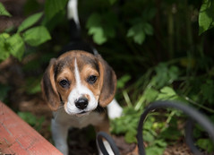 smitten (cathy sly) Tags: july18 baker beagle puppy doglove
