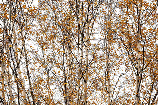 Autumn birch.