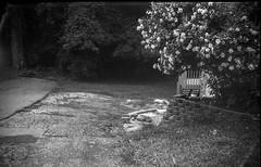 flowering tree, crumbling driveway, forest, Asheville, NC, Argus A3, Kodak TMAX 400, Ilford Ilfosol 3 developer, 7.10.18 (steve aimone) Tags: blossoms blooming flowering tree yard driveways crumbling pavement forest westasheville northcarolina argusa3 kodaktmax400 ilfordilfosol3developer 35mm 35mmfilm film landscape blackandwhite monochrome monochromatic