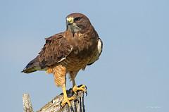 Swainson's Hawk (Thy Photography) Tags: wildlife animal nature outdoor backyard california bird swainsonshawk hawk raptor birdofprey prey