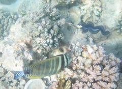 390. Sailfin Tang (1000 Wildlife Photo Challenge) Tags: sailfin sailfintang redsea marsaalam marinelife wildlife marinephotography