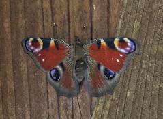 Inachis Io (G.Sartori.510) Tags: pentaxk1 smcpentaxda60250mmf4edifsdm farfalla butterfly inachisio nymphalidae