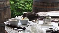 Cream Tea with a wild Blackbird (fstop186) Tags: blackbird creamtea wild movie clip nature young hungry feeding