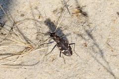 Cicindela sylvatica (lloyd177) Tags: cicindela sylvatica beetle studland nature reserve dorset
