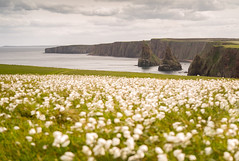 Duncansby Stacks II (Paul C Stokes) Tags: duncansbystacks duncansby stacks head john o groats caithness sea seastacks headland rock pinnacles scotland northeast north east northcoast500 coast 500 nc500 sel70300g sony a7r2 a7rii long exposure flowers movement 70300mm 70300g