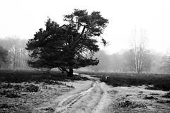 Drenthe (The Netherlands) - Anloo - De Strubben-Kniphorstbosch - 12 (Björn_Roose) Tags: bjornroose björnroose drenthe nederland netherlands niederlände paysbas heath heide destrubbenkniphorstbosch anloo