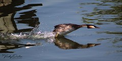 Great crested grebe looks like it's on the charge for something. (vickyouten) Tags: vickyouten norfolk norfolkbroads wildlife birds grebes grebe greatcrestedgrebe