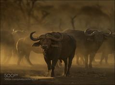 Kaffernbüffel (KevinBJensen) Tags: dawn sunset fog sunrise dusk mist lake grazing plains misty grass haze syncerus caffer schwarzbüffel afrikanischer büffel steppenbüffel
