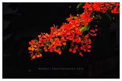 Red (Meraj.) Tags: green natural nature stunning monsoon home house karnataka asia photography beautiful india indian 55200mm nikond5300 nikon flowers red