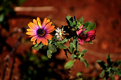 Three (roanfourie) Tags: 70300mmafpdx experiment flower flowers plant plants light day outdoors green pink bokeh photography nikon d3400 nikkor 70300mm ed dx afp vr f63 dslr raw gimp flickr southafrica africa westrand randfontein coldmonths winter july 2018 july212018 seeherbeauty protectmotherearth