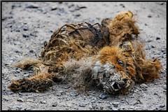 toter Fuchs (wb.fotografie) Tags: fuchs tot rotfuchs vulpes wildhund raubtier natur strasse kadaver skelett füchse fox wald felder jäger